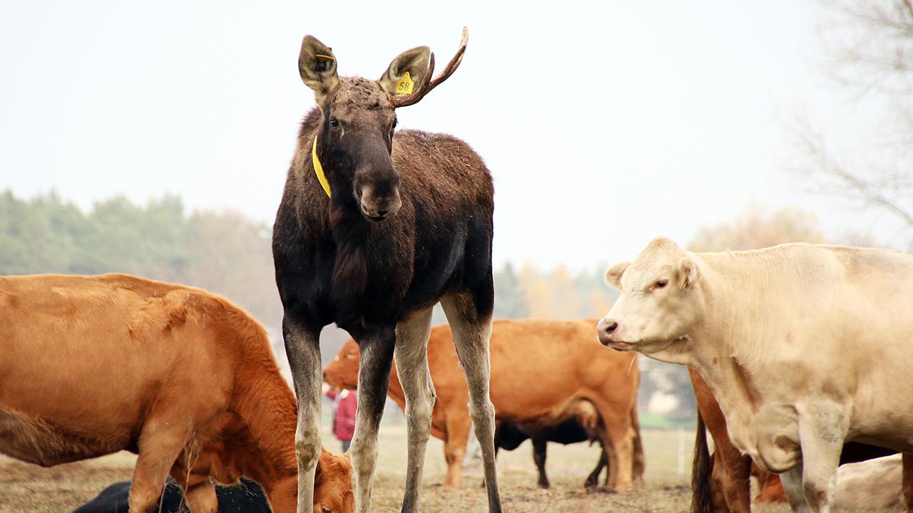 Elch weicht Kuhherde in Coswig nicht von der Seite