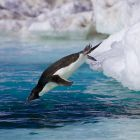 Ein Pinguin springt ins Meer © imago images / Nature Picture Library